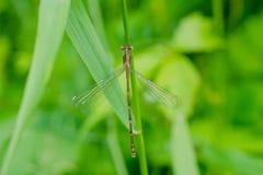 Slender Spreadwing Damselfly - Lestes rectangularis. Female Slender Spreadwing Damselfly perched on a grass stem. Colonel Samuel Smith Park, Toronto, Ontario stock images