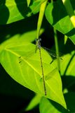 Slender Spreadwing Damselfly - Lestes rectangularis. Male Slender Spreadwing Damselfly perched on a leaf pod. Rouge National Urban Park, Toronto, Ontario, Canada royalty free stock photography