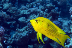 Female slingjaw wrasse (epibulus insidiator) Royalty Free Stock Image