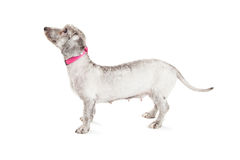 Female Small Breed Dog Standing Profile Stock Images