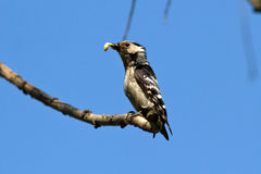 Female small-spotted woodpecker with larva Royalty Free Stock Images