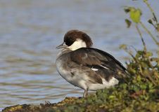 Female Smew Stock Photo