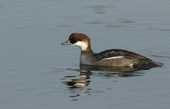 A female Smew Mergus albellus swimming on a lake. Stock Photography