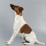 Female smooth fox terrier on a gray background. Hunting dog afte Stock Photos