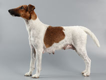 Female smooth fox terrier on a gray background. Hunting dog afte Stock Images