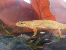 Carpathian Newt in water Stock Photo