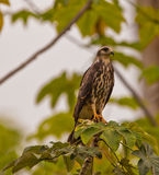 Female Snail Kite Stock Photography