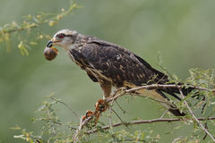 Female Snail Kite  Eating an Apple Snail - Panama Royalty Free Stock Photography