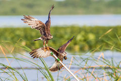Female Snail Kite. Two Adult Snail Kites Skirmish Over Perching Rights Royalty Free Stock Image