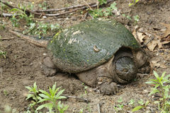 Female Snapping Turtle Stock Photo
