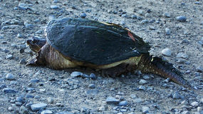 Snapping Turtle on dry land stock image