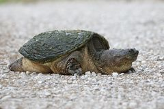 Female Snapping Turtle digging a nest in a gravel driveway Royalty Free Stock Photos