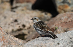 A female Snow Bunting Plectrophenax nivalis in summer plumage,  high in the Scottish mountains Royalty Free Stock Photo