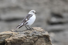 Female Snow Bunting sitting on rocks in autumn day Stock Photos