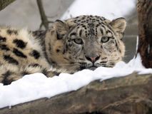 Female snow leopard Uncia uncia, watching snowy surroundings Royalty Free Stock Images