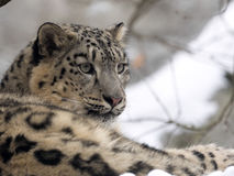 Female snow leopard Uncia uncia, watching snowy surroundings Royalty Free Stock Photography