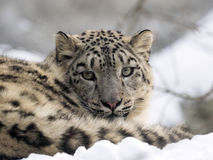 Female snow leopard Uncia uncia, watching snowy surroundings Royalty Free Stock Image