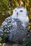 Female Snowy owl. Sitting on the ground with autumn colors in background Royalty Free Stock Photos