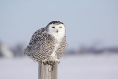 Female Snowy Owl. Snowy Owls come to the countryside near Montreal every winter when the food sources become scarce in North Pole Royalty Free Stock Images