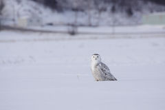 Female Snowy Owl. Snowy Owls come to the countryside near Montreal every winter when the food sources become scarce in North Pole Royalty Free Stock Photo