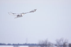 Female Snowy Owl Royalty Free Stock Photo