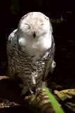 Female Snowy Owl Stock Image