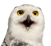 Female Snowy Owl, Bubo scandiacus, 1 year old. Portrait and close up against white background royalty free stock image