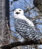 Female Snowy Owl Stock Images