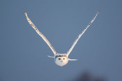 Female Snowy Owl in Flight Royalty Free Stock Image