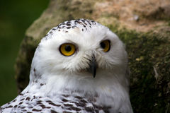 Female snowy owl. Portrait of female snowy owl. Photography of wildlife Stock Photo