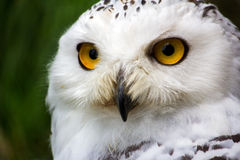 Female snowy owl. Portrait of female snowy owl. Photography of wildlife Stock Image