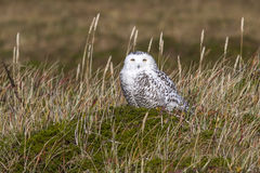 Female snowy owl that sits in the tussock tundra in the sunny Royalty Free Stock Image