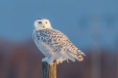 Female Snowy Owl Stock Photography