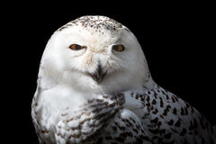 Female Snowy owl. Stock Photography