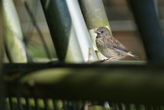Female Song Sparrow on Fence. A female song sparrow sits on moss covered farm fencing Stock Images