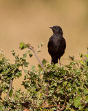 The female Sooty Chat Stock Photo