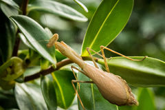 Female South African Praying Mantis (Miomantis caf. Fra), also known as the Springbok Mantis ready to lay eggs. This introduced insect which can be green or Stock Photo