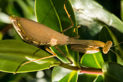 Female South African Praying Mantis (Miomantis caf. Fra), also known as the Springbok Mantis ready to lay eggs. This introduced insect which can be green or Royalty Free Stock Image
