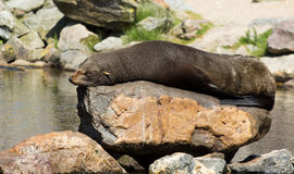 Female South American Fur Seal resting Stock Image
