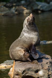 Female South American Fur Seal resting Royalty Free Stock Image