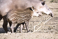 Female South American tapir, Tapirus terrestris, with a baby Royalty Free Stock Images