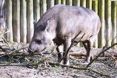 Female South American tapir, Tapirus terrestris, Stock Photos
