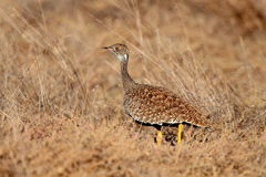 Female Southern Black Bustard Stock Photos