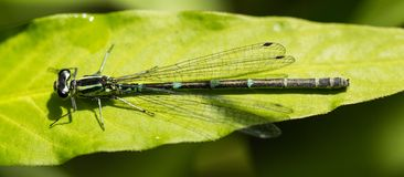 Female Southern Damselfly. Sitting on a leaf in a nature reserve in Essex stock photos