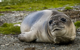 Female Southern Elephant Seal. Seen on South Georgia near Antarctica Royalty Free Stock Photo
