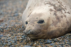 Female southern elephant seal, copy space. Royalty Free Stock Photos