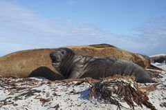 Southern Elephant Seal and pup Royalty Free Stock Image