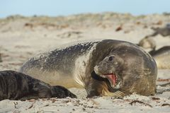 Female Southern Elephant Seal and pup. Female Southern Elephant Seal [Mirounga leonina] with a recently born pup lying on a beach on Sea Lion Island in the Stock Photos