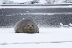 Female Southern Elephant Seal Which Lies On An Ice Float Floating Along The Strait Near The Antarctic Peninsula Royalty Free Stock Image