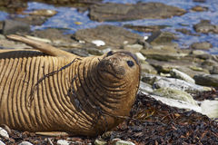 Female Southern Elephant Seal Royalty Free Stock Images